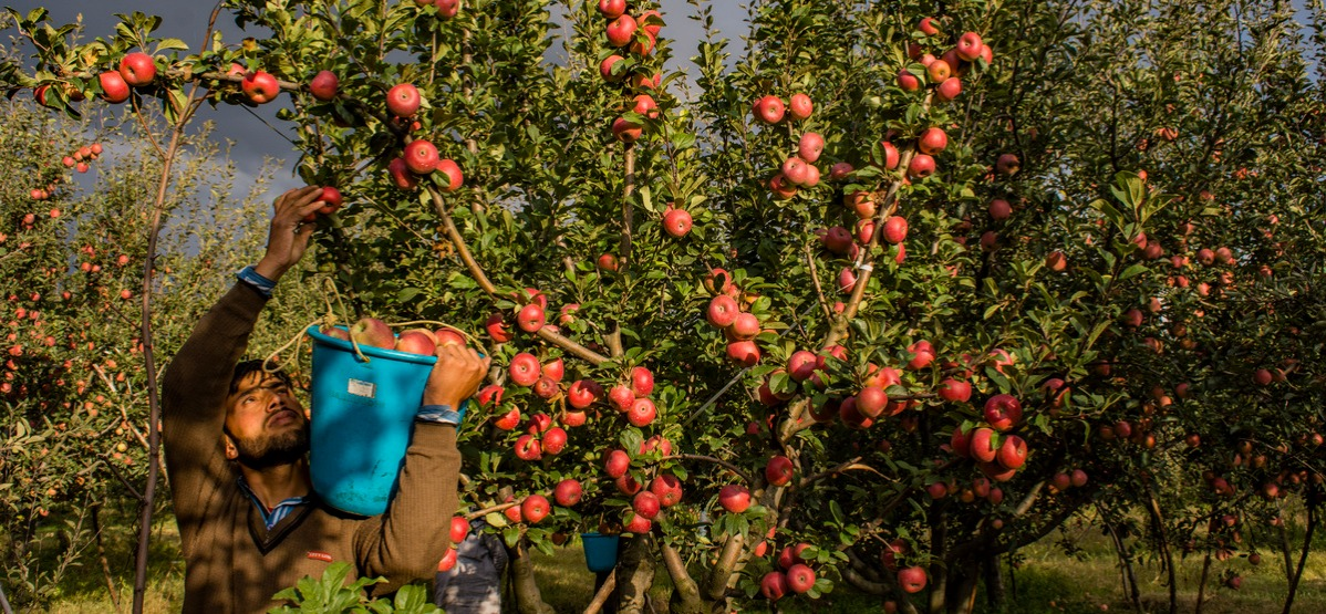 Apple Harvest In Kashmir