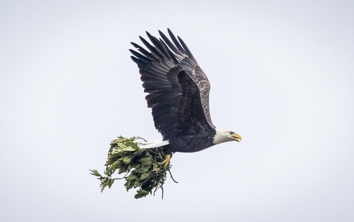 bald eagle birth pain killer