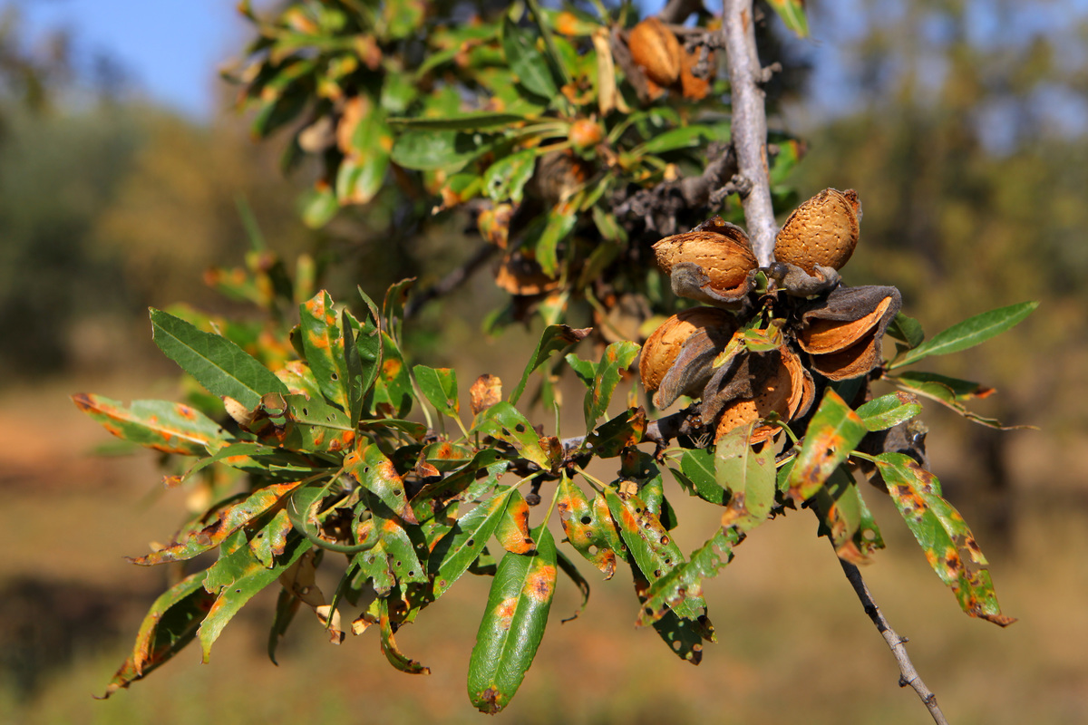 Traditional Spanish Almond Harvest