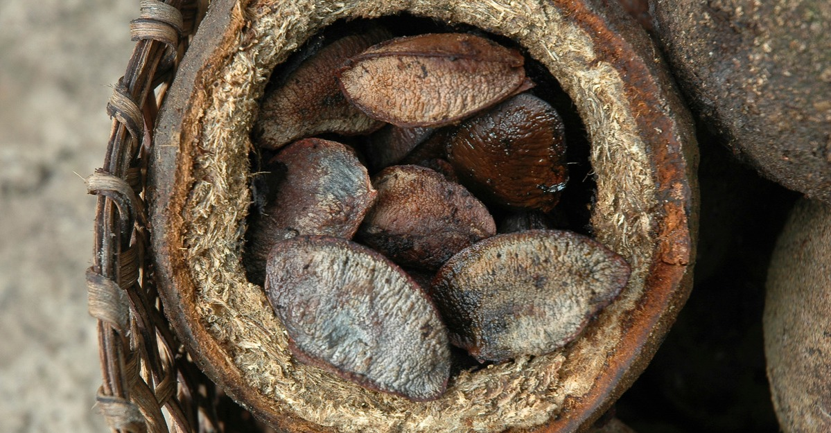 Brazil nut detail, sustainable developmnet, Amazon rain...