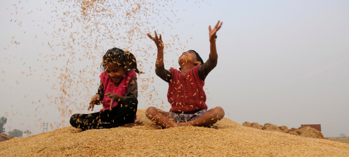 Rice Harvesting In North India