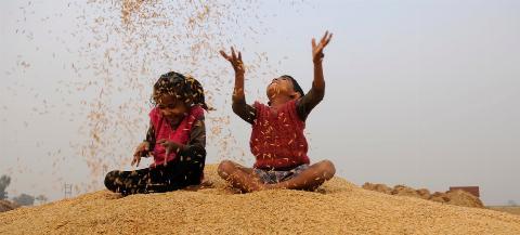 Rice Harvesting In North India