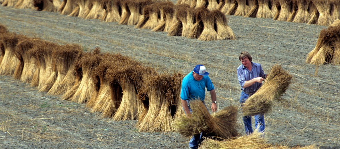 Harvest of flax