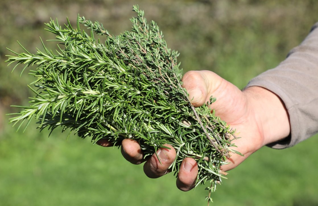 a gardener displays thyme and rosemary health benefits herbs memory improvement antioxidant allergy relief