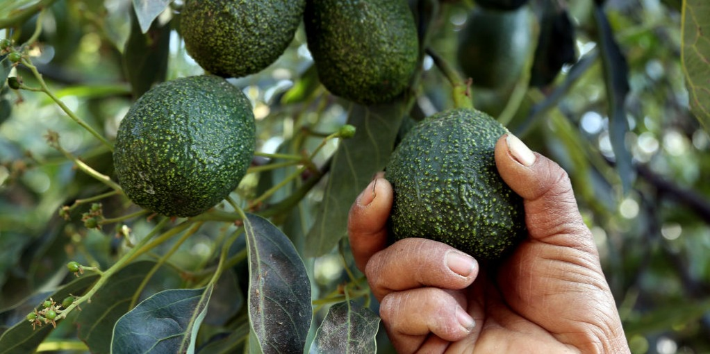 Picking avocado off tree