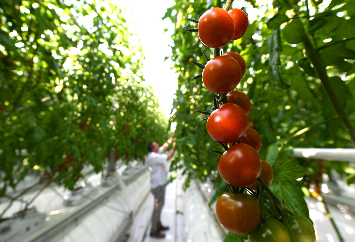 Horticultural director Richard Lewis inspects a truss of cherry tomatoes on the vines at Sterling Suffolk.