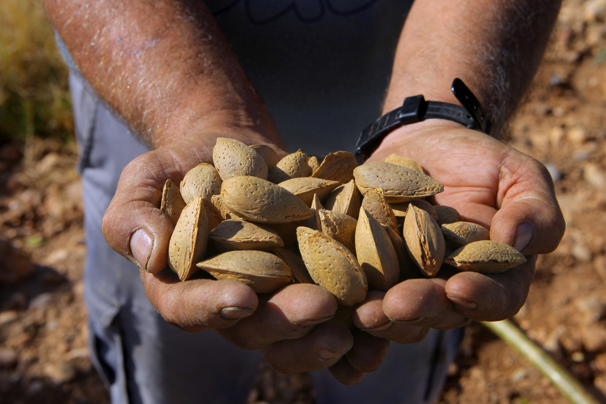 A Spanish farmer collects hand-harvested almonds from his orchard high protein foods almonds cashews pistachios