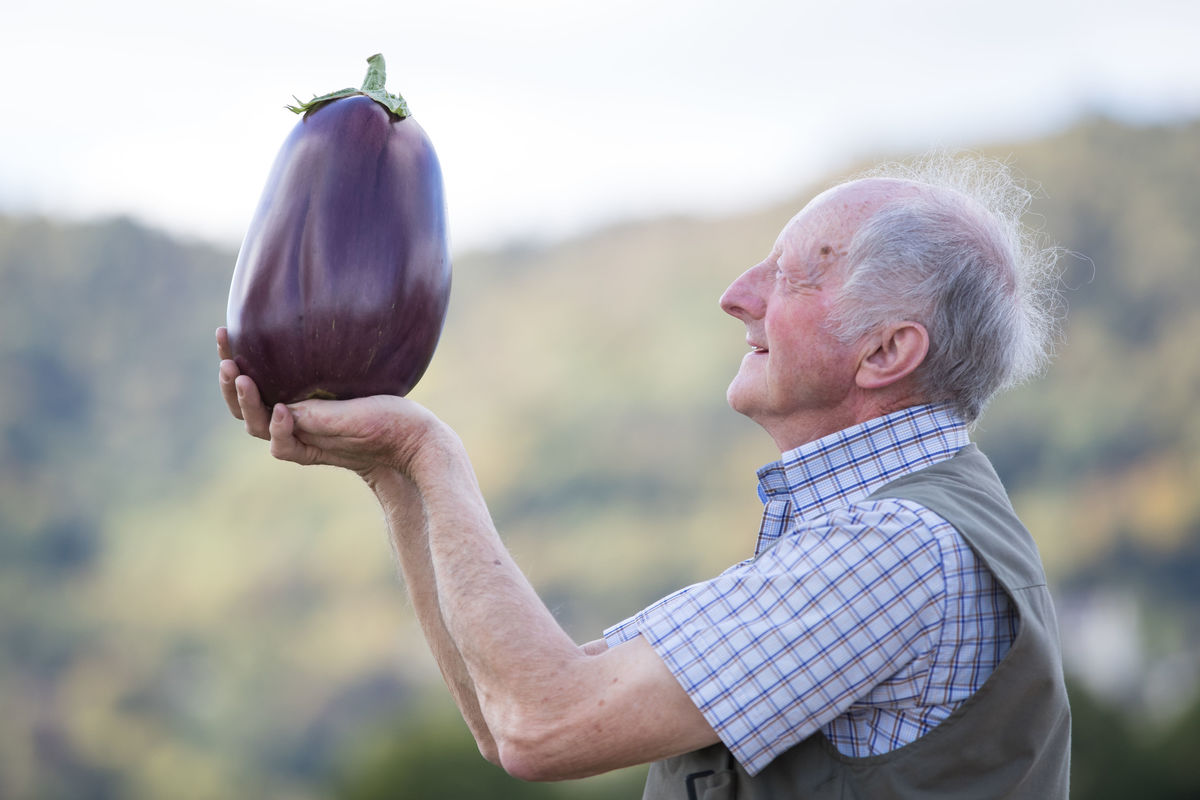 Peter Glazebrook looks at his giant aubergine at the CANNA UK National Giant Vegetables Championship