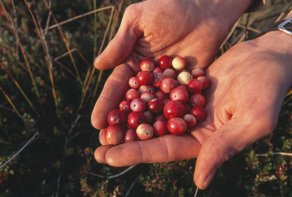 Cranberries help in hands, picked from Massachusetts farm.