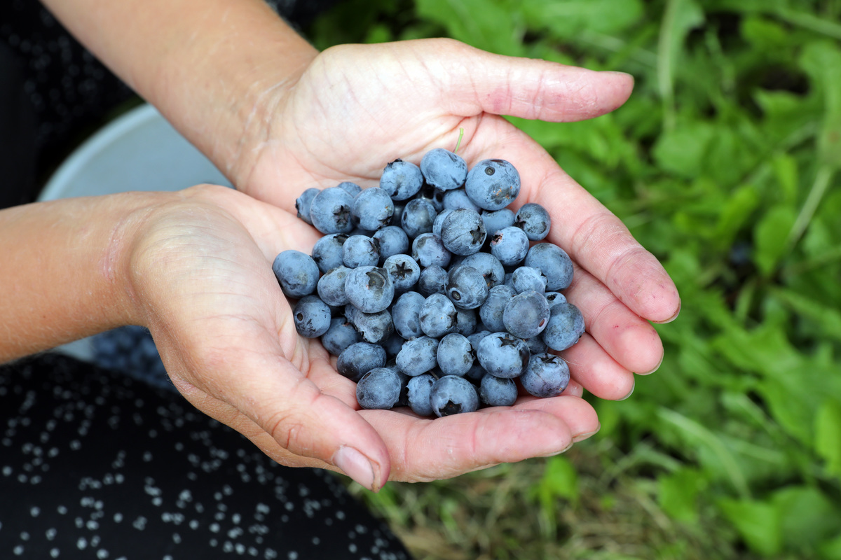 Polish harvest workers picking blueberries in the fields