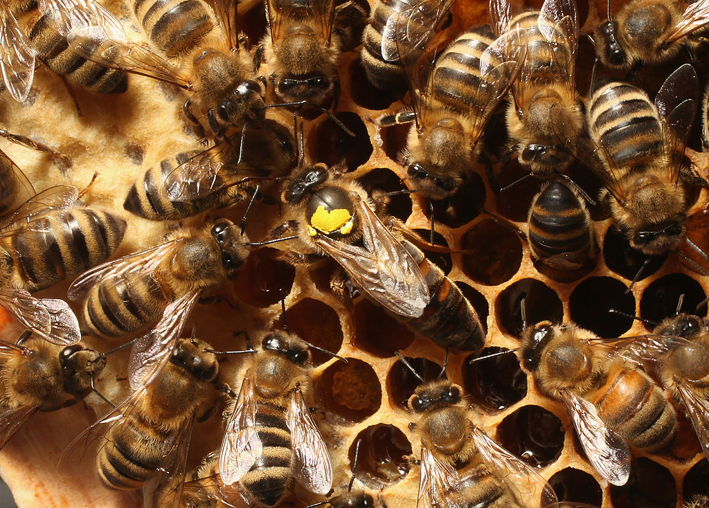 GettyImages-167524958 Worker bees surround a queen, who is marked with a yellow spot on her back, in the colony of beekeper Reiner Gabriel