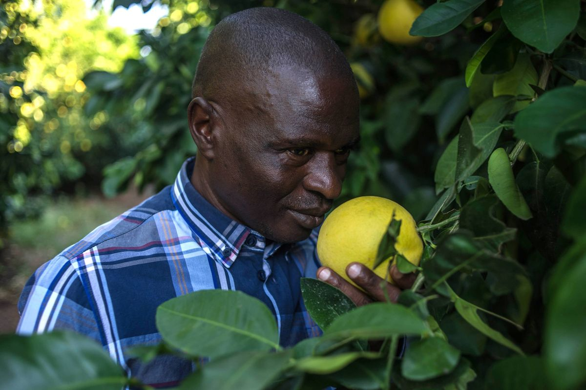 Hezekiel Nkosi, leader of the Moletele community, smells a lemon at a Moletele community's farm