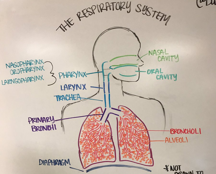 whiteboard anatomy of respiratory system in a classroom