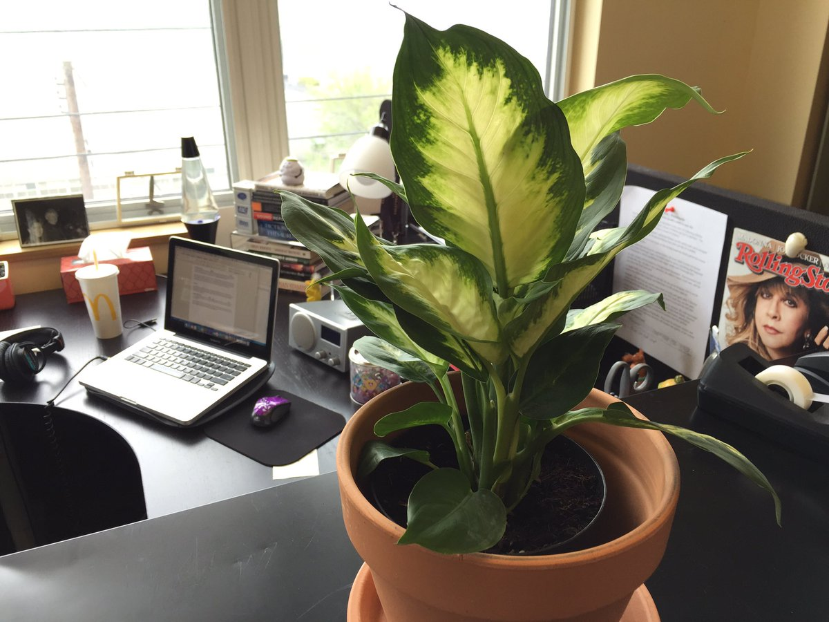 Meet Planty, a work desk Chinese evergreen