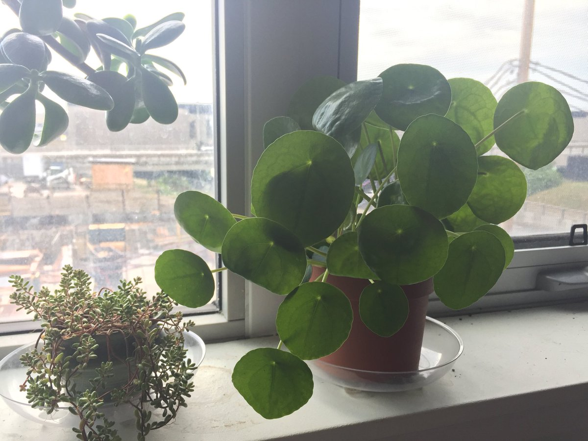 Chinese money plant (right), also called pilea, on a windowsill