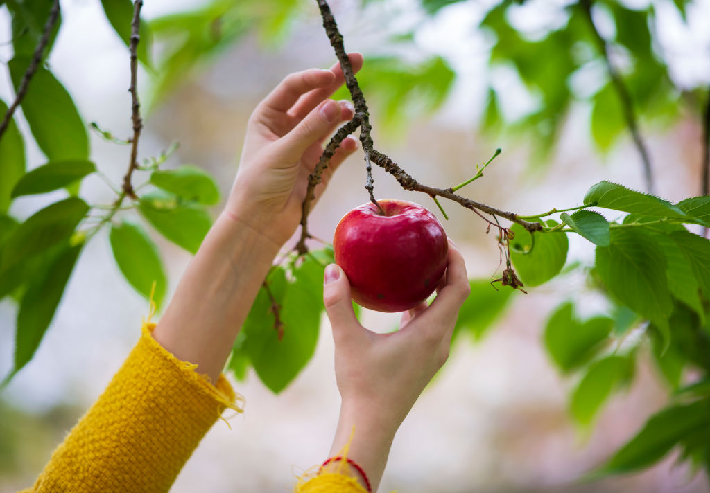 A woman reaches up to pick a red apple off of a tree.