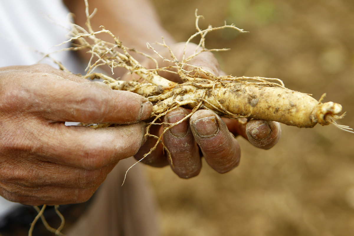 A farmer clears the mud from a ginseng root