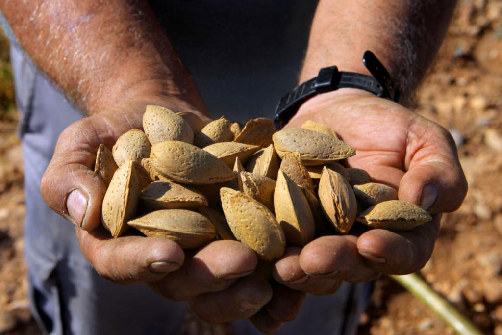 Two male hands hold shelled almonds out to the camera.