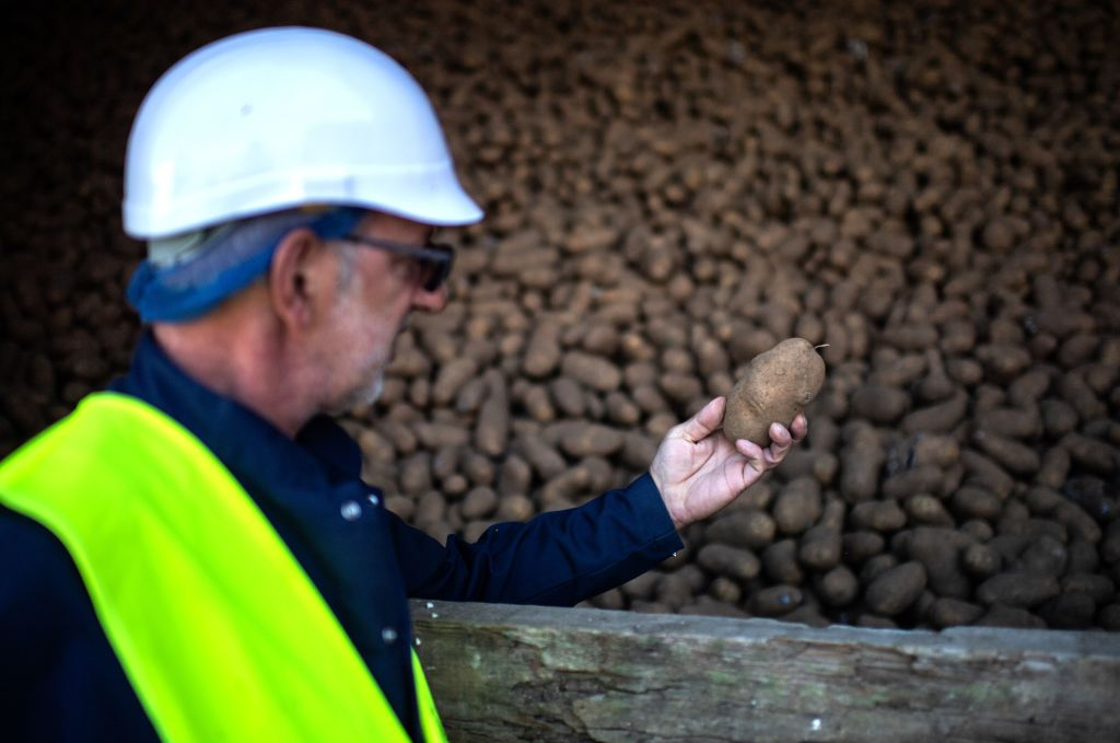 A male worker holds up a potatoe from a large pile of potatoes at a plant.