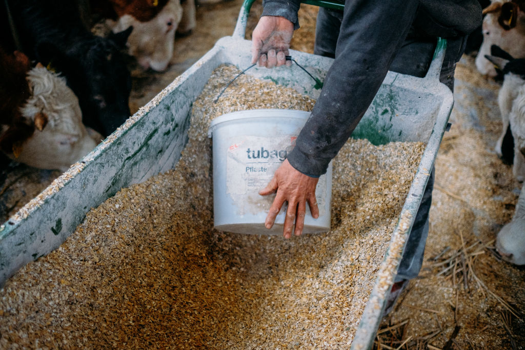 A farmer scoops up oats into a bucket to feed to his cows.