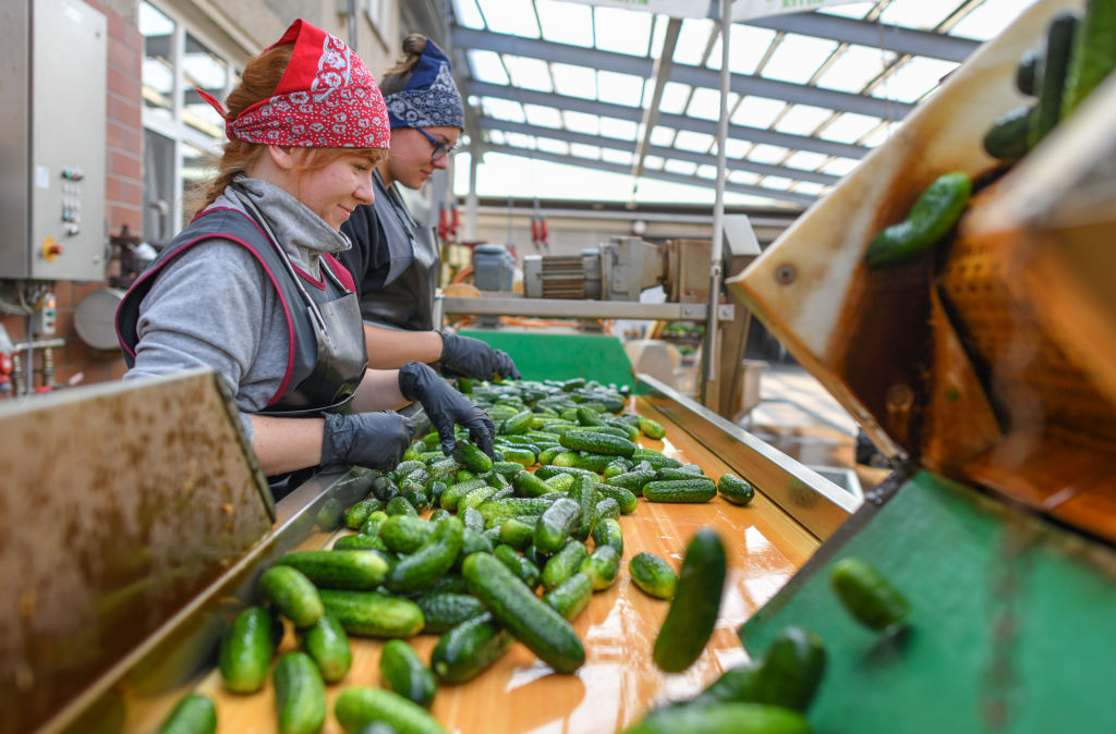 Two female workers organize pickles as they fall down the assembly line.