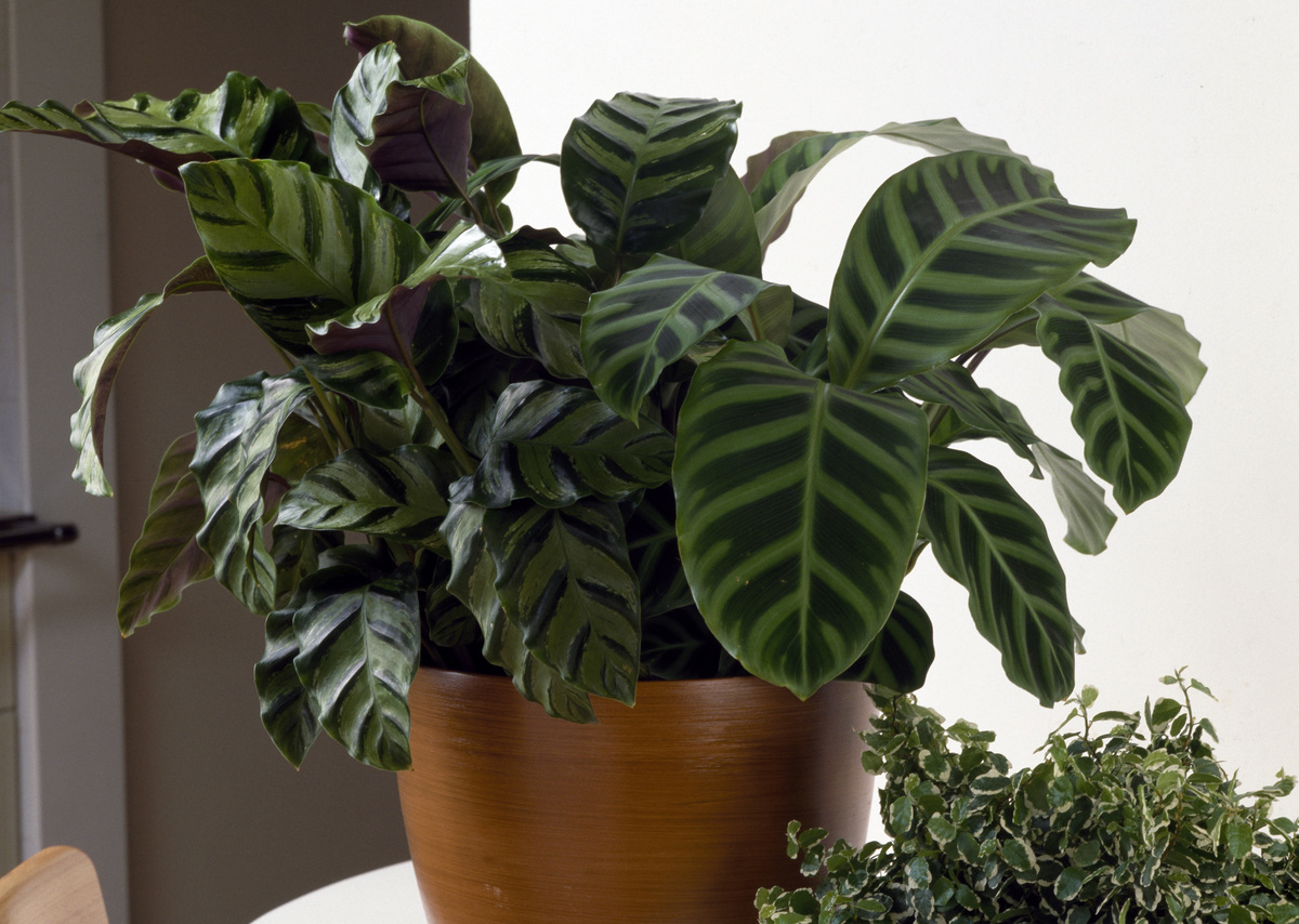 Zebra plant (Calathea zebrina) in a pot on a desk