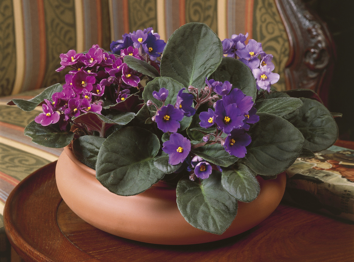 Close-up of an African violet plant (Saintpaulia ionantha)