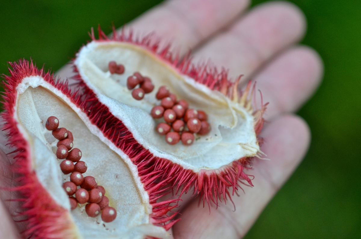 Achiote, Annatto (Bixa orellana). Fruit capsules and seeds.