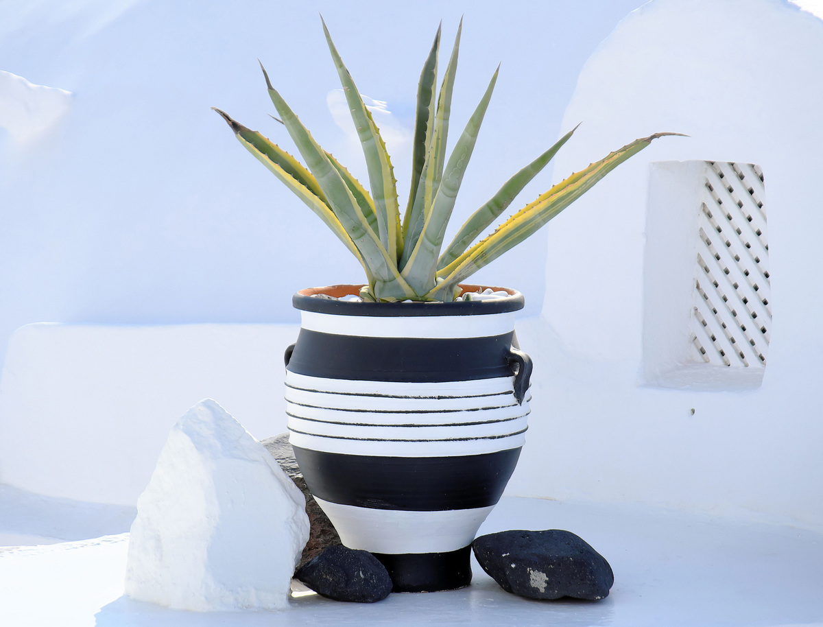 aloe vera in a pot with stones around it