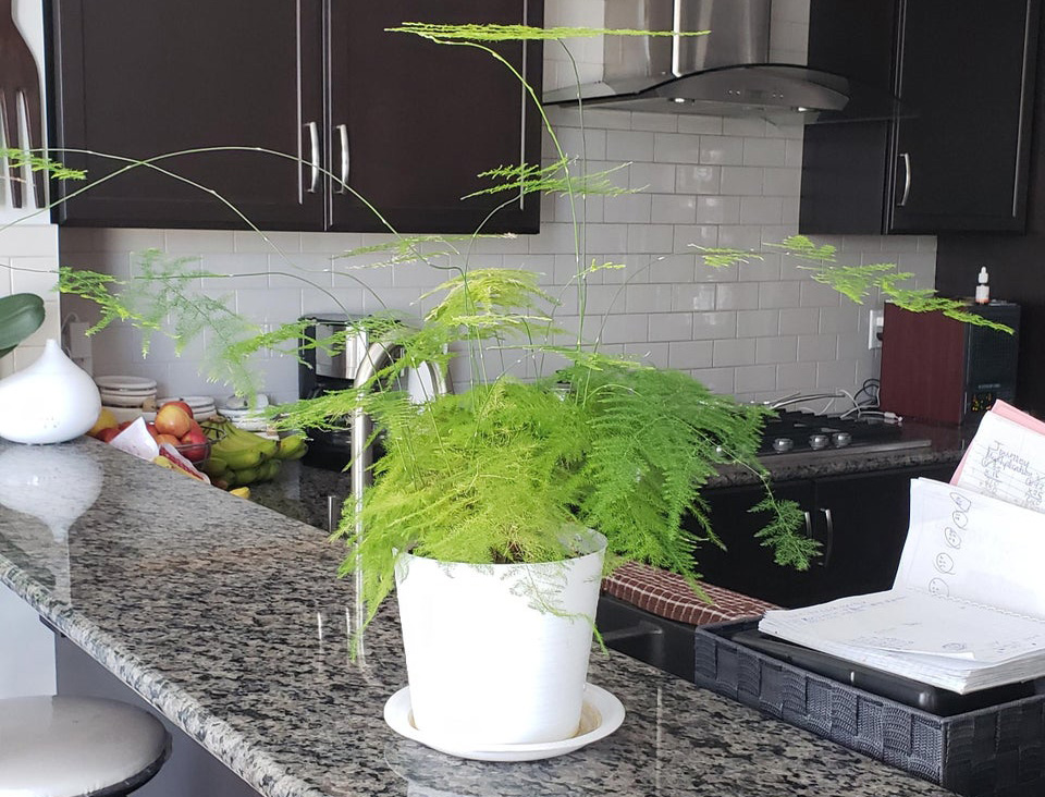 Person's asparagus fern growing like crazy on a kitchen counter