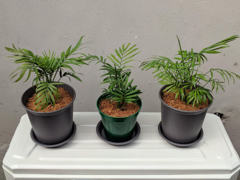 three young areca palms in pots