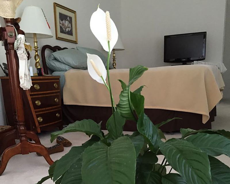 blooming peace lilies in a bedroom