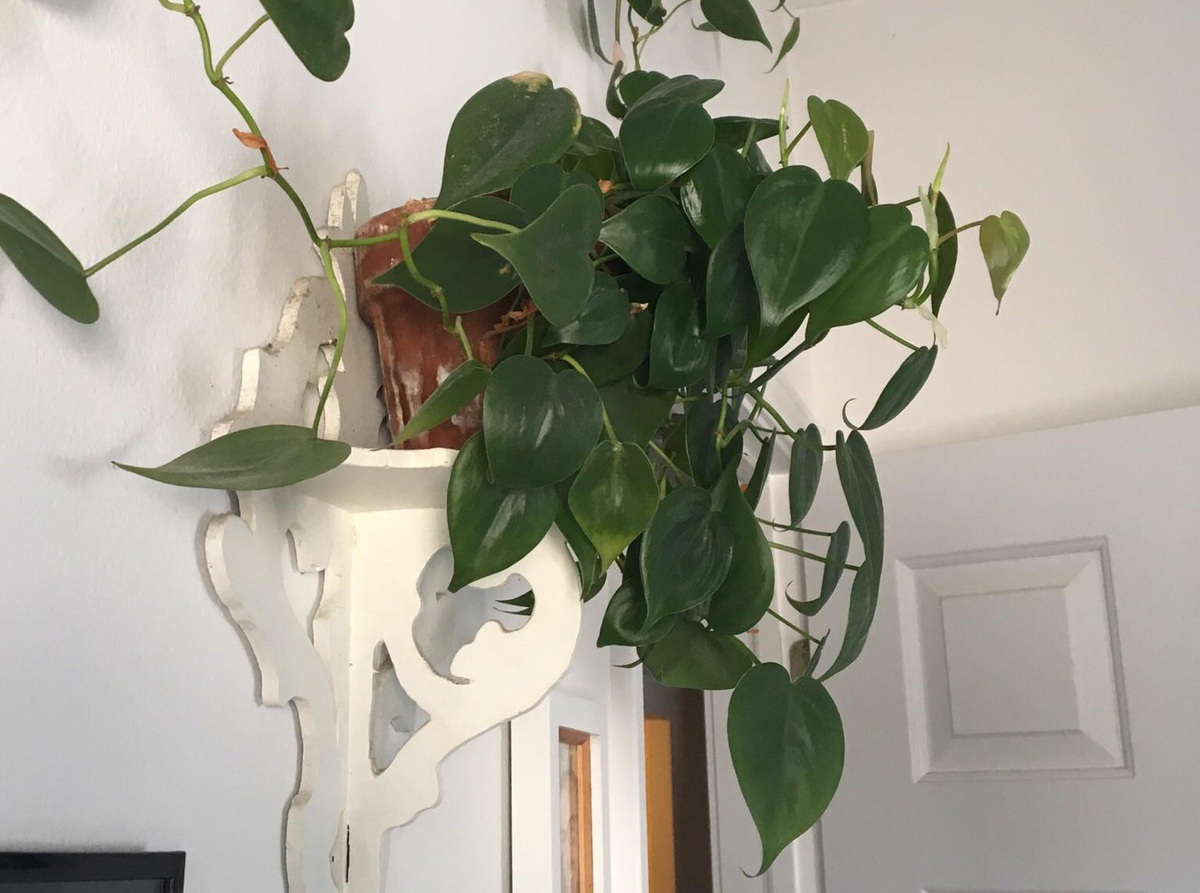 seven-year-old heartleaf philodendron climbing a wall