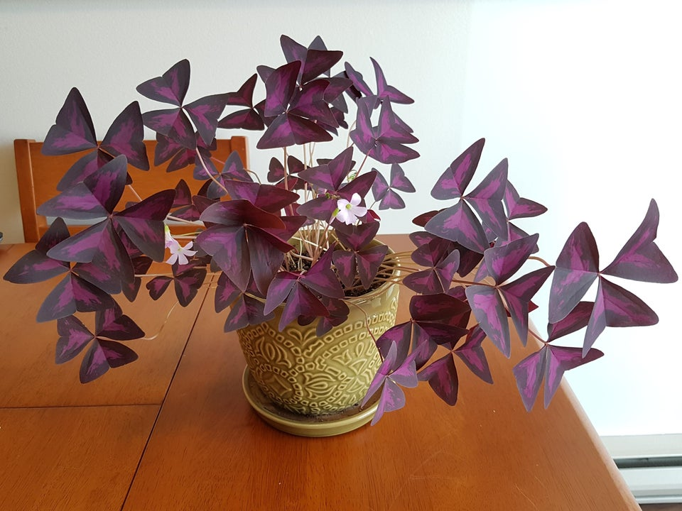 Purple oxalis, also called a shamrock plant, on a table