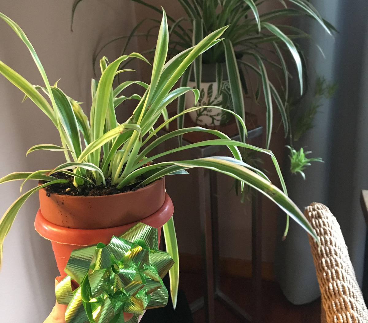 spider plants producing