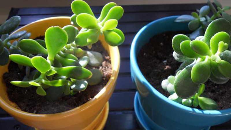 jade plants in an orange and blue pot
