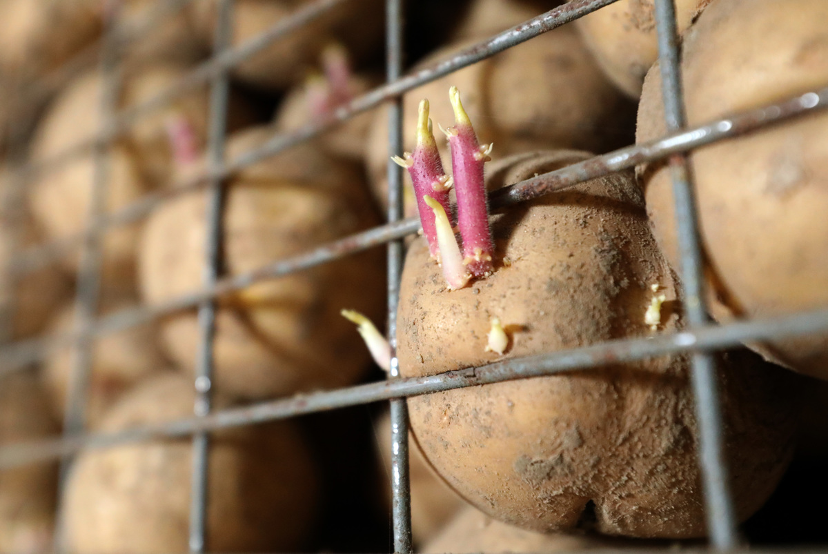 Drought brings bad potato year