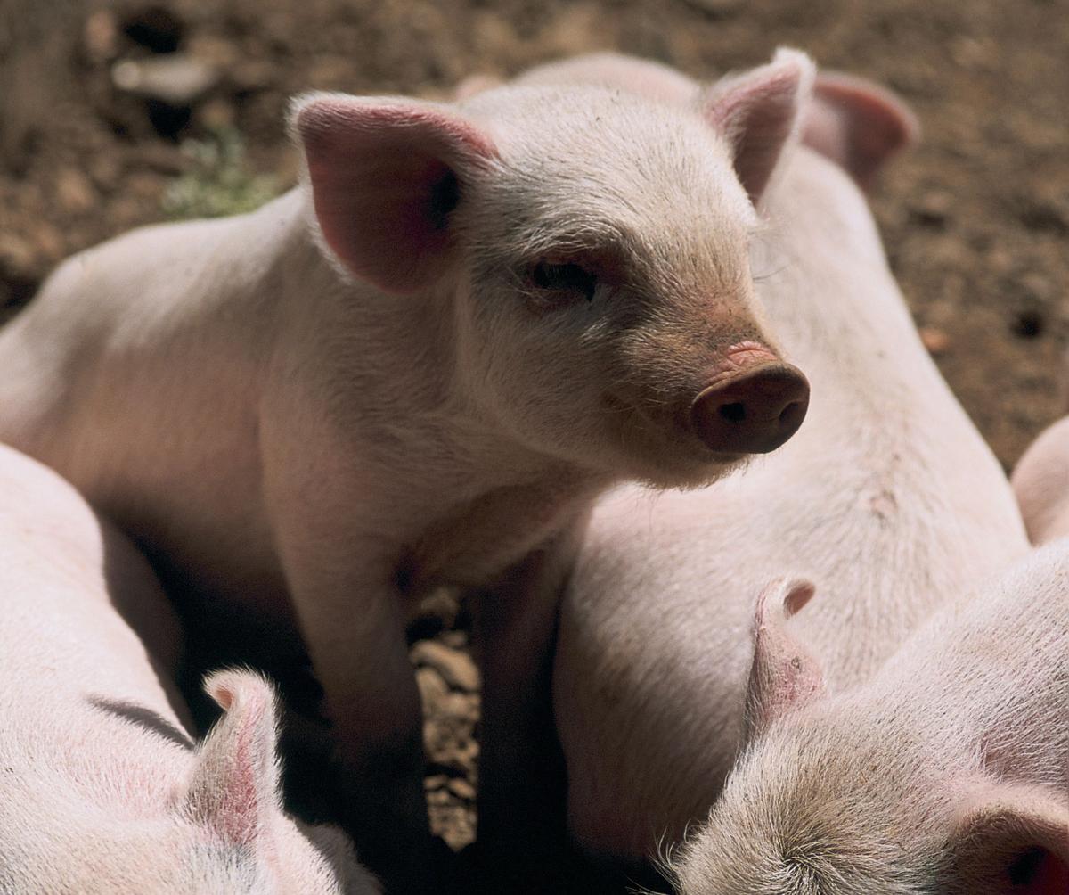 Piglets in Yunnan , China