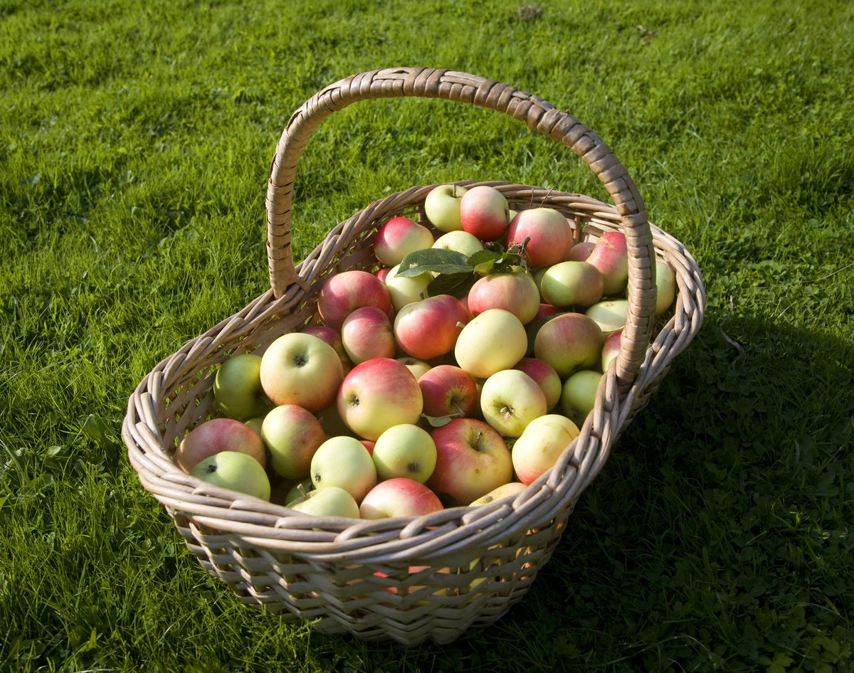 Large wicker basket filled with fresh apples