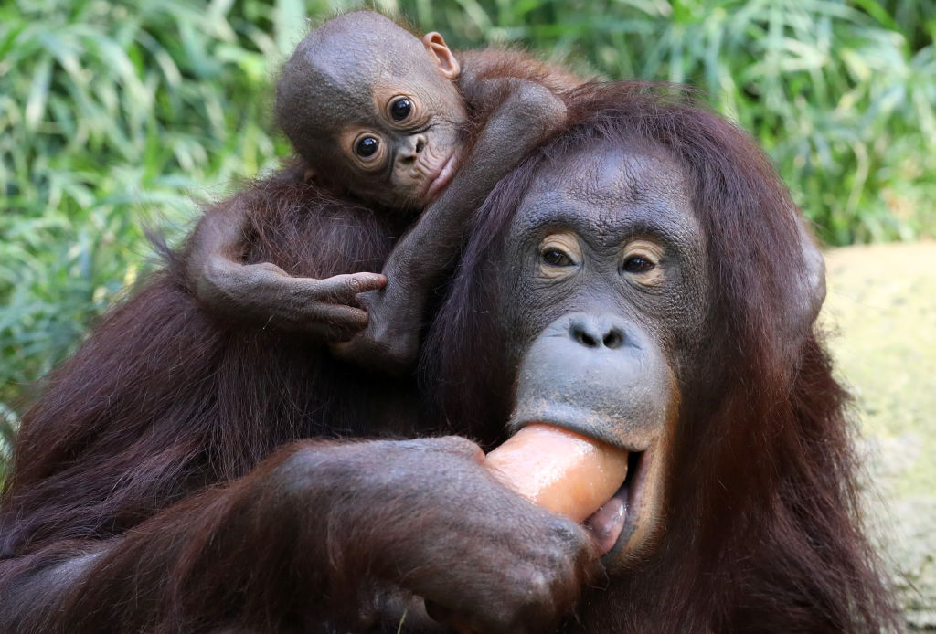 an orangutan mom and daughter eating frozen applesauce
