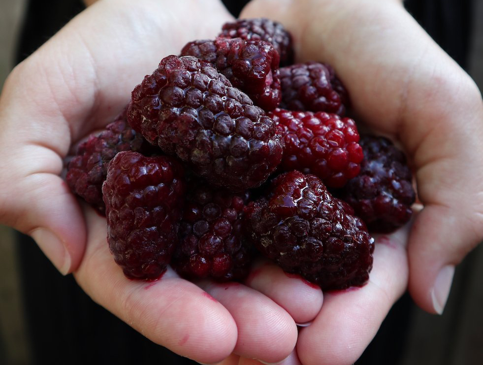 Person holds fresh boysenberries
