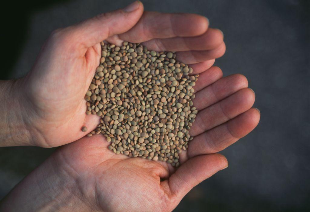 lentil seeds in hands