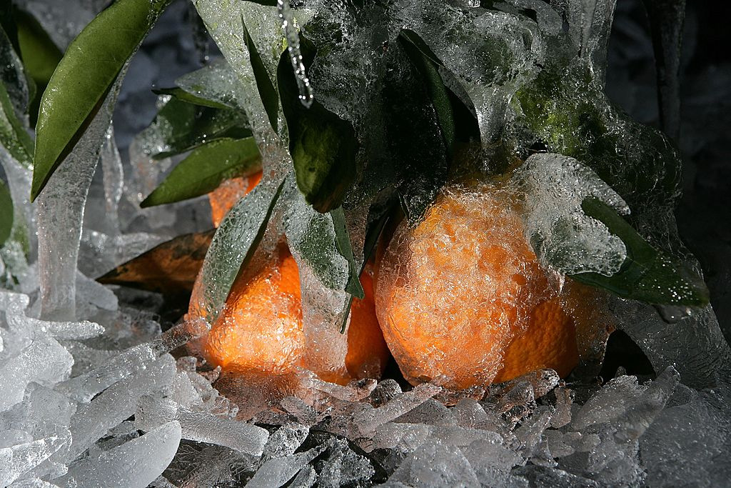 oranges covered in ice