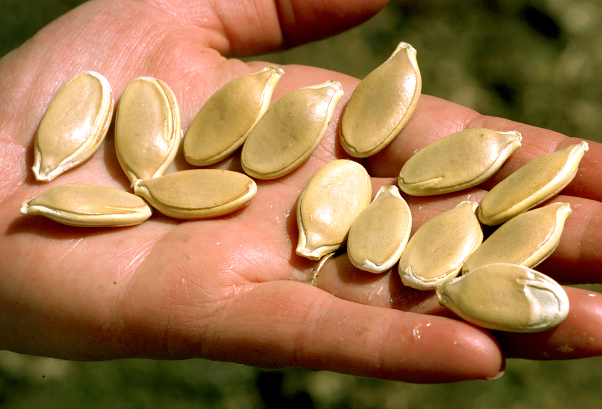 Woman holds pumpkin seeds that she is going to plant in her garden at home.