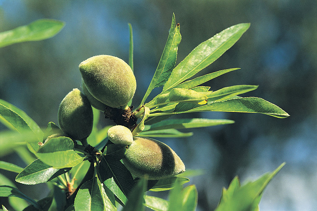almond-tree-89178657