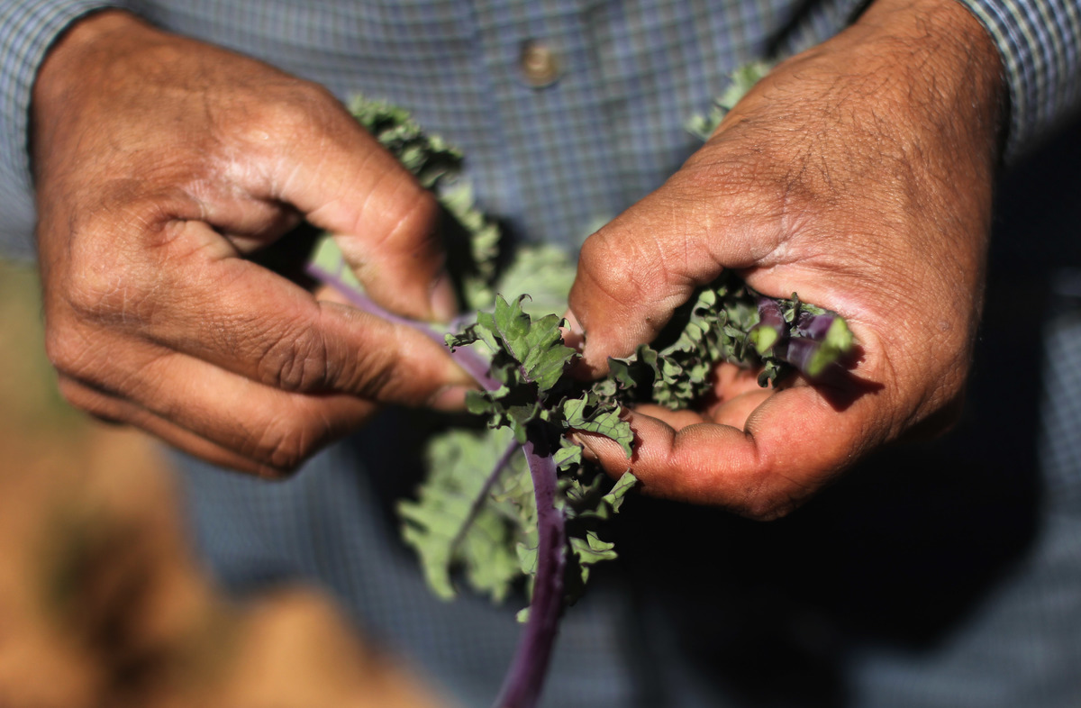 A farm worker from Mexico inspects organic kale.
