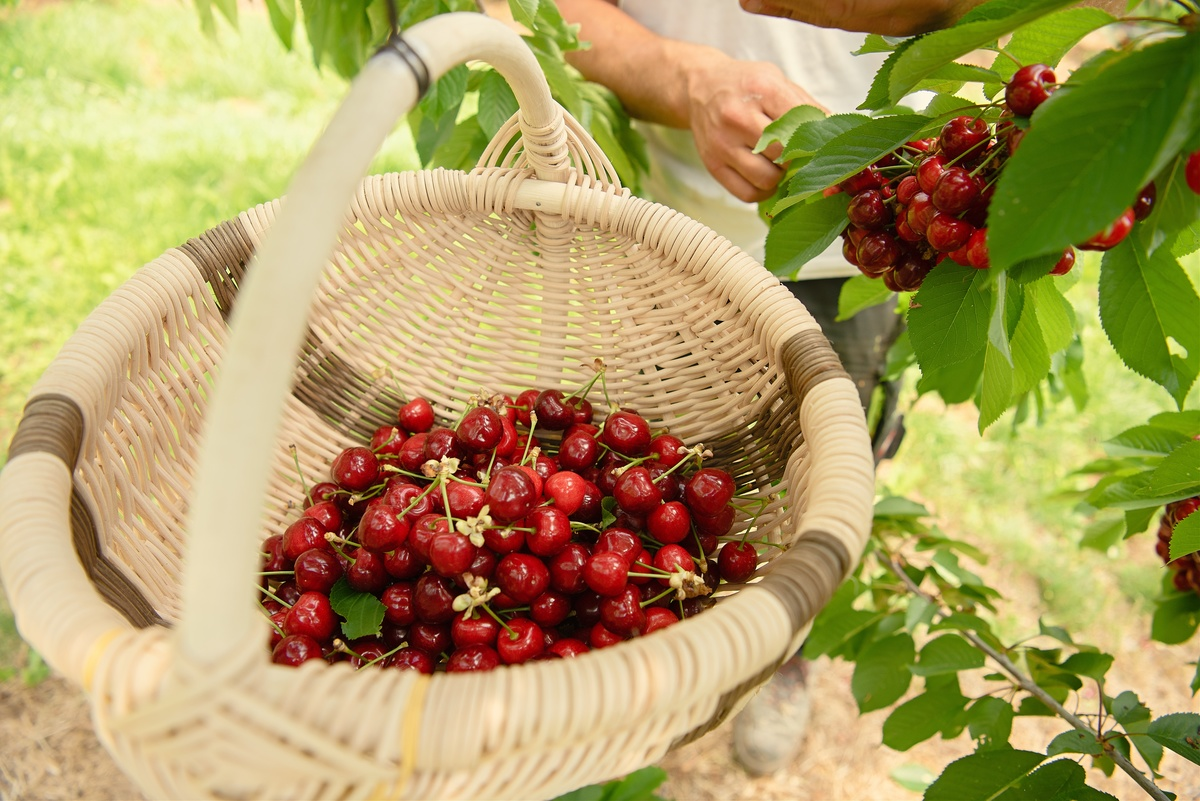 A person picks cherries and places them in a basket.