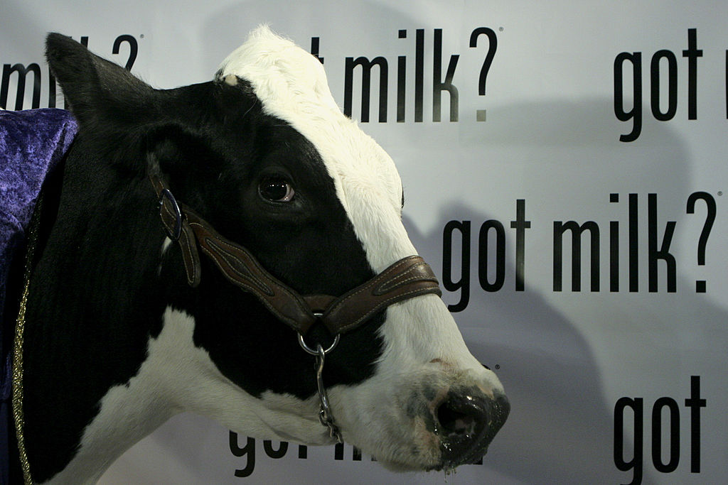 a cow has milk