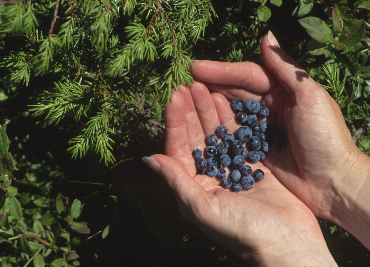A person holds freshly-picked blueberries.