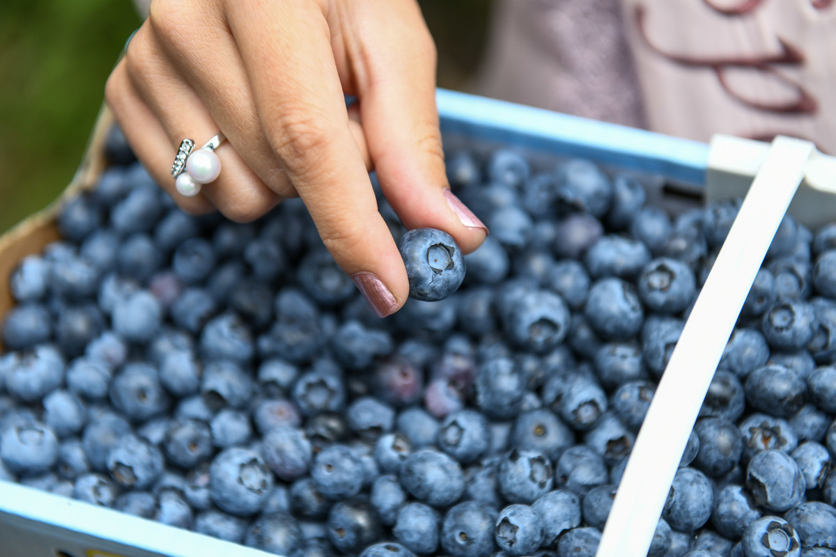 A woman holds a blueberry between her fingers.